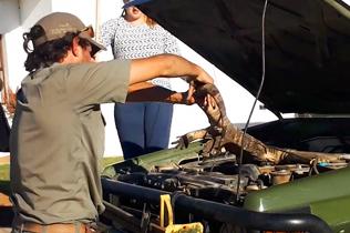 南非巨蜥藏引擎里4小时 护林员徒手救援放其自由