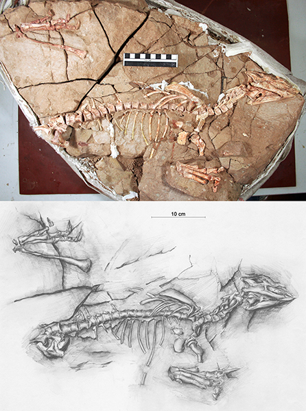长春龙照片及素描图-金利勇 与团队共创 长春龙动物群