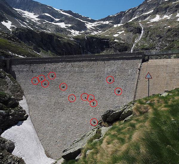 意大利野山羊为摄取盐巴攀爬50米高垂直水坝