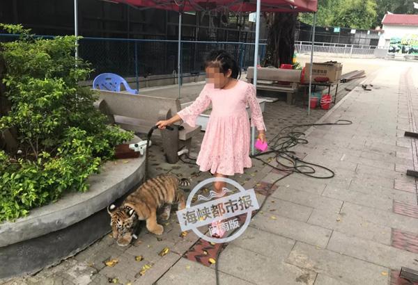 泉州9岁遛虎女孩父亲:幼虎和女儿一起长大,不会伤害她