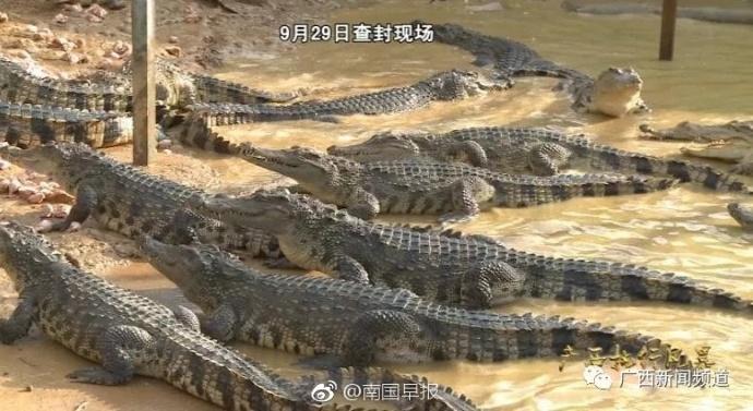 豪宅内抓老赖!400条鳄鱼被查封 还动用了无人机
