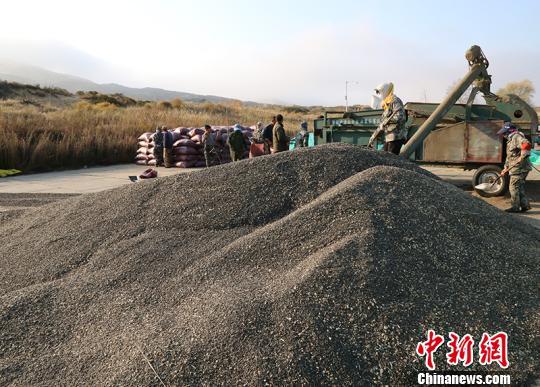 新疆兵团团场农作物全面收获 职工喜迎丰收