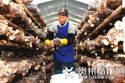 龙里县龙山镇因地制宜发展食用菌产业