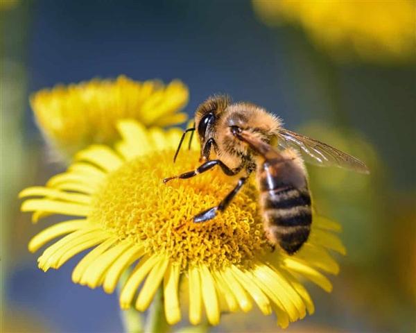日食期间蜜蜂们会突然集体停止发出嗡嗡声
