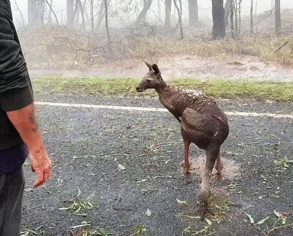 澳东海岸遭强风暴侵袭 袋鼠满身覆盖冰雹