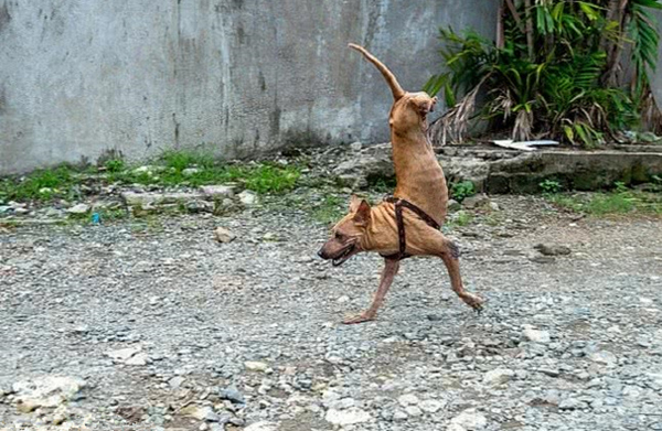 励志!菲律宾狗狗天生无后腿 靠两前腿坚强行走