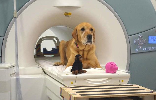 核磁共振研究证实:狗狗确实可以听懂主人所说