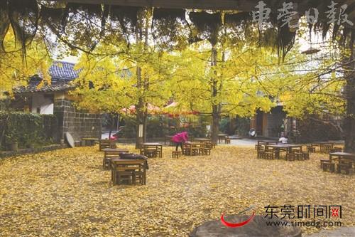 那边的银杏黄了 去云南寻找金色的童话