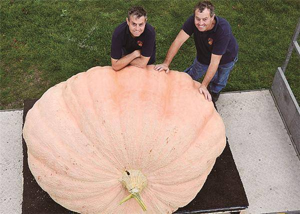 1.14吨巨型南瓜刷新英国纪录 双胞胎兄弟是种植能手