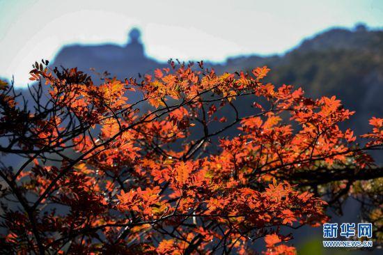 黄山进入最佳赏秋期
