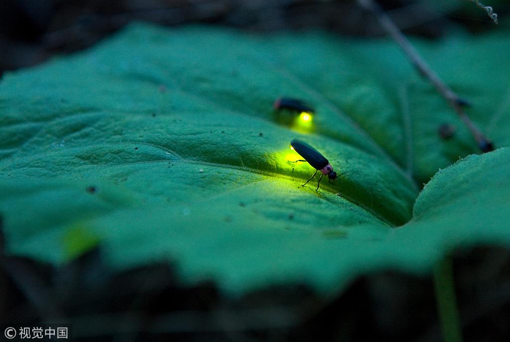 日本研究发现萤火虫因基因复制错误而发光
