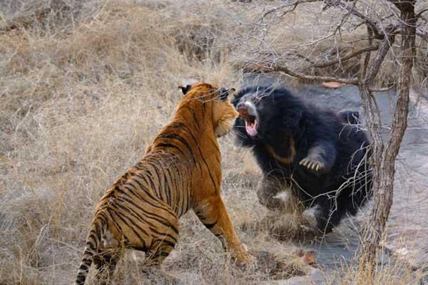 母爱爆发!印度母熊勇猛逼退老虎