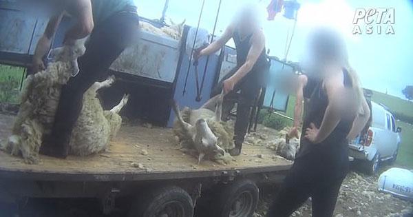 英农场被曝残忍虐待绵羊 踢打撞头踩踏时有发生