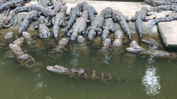 安徽泾县:扬子鳄保护区内停止征地、停止26个建设项目施工