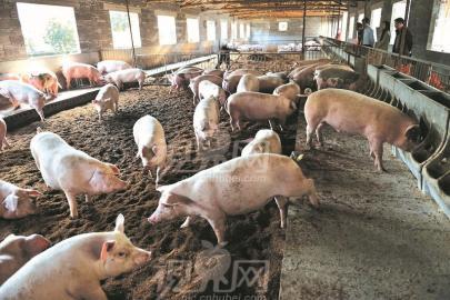 微生物发酵床 让猪粪变成有机肥