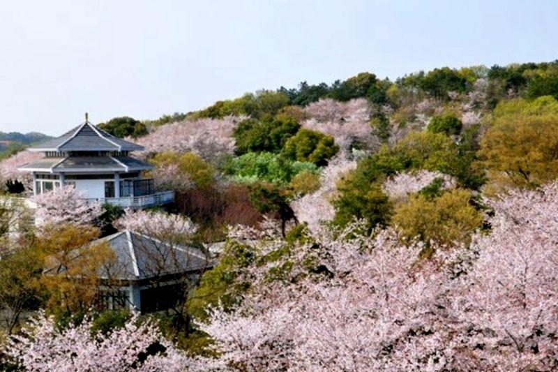 日本樱花罕见大规模盛开