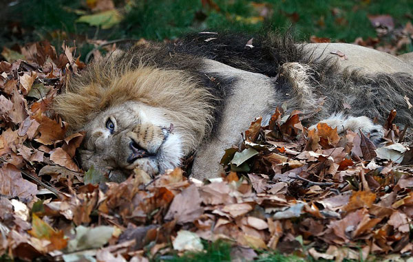 英动物园狮子们玩心大发 落叶堆中打滚嬉戏