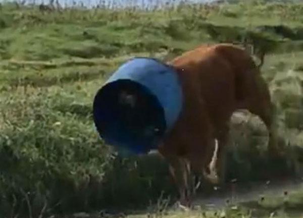 滑稽!苏格兰小牛头套水桶紧随牛群不停狂奔