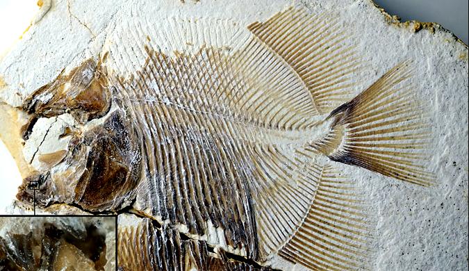 """德国采石场发现已知最早""""食人鱼""""化石 已有1.5亿年历史"""