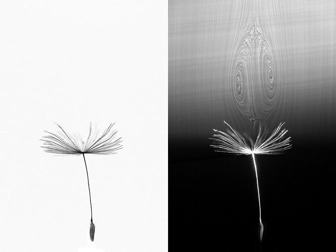 科学家揭开了蒲公英种子长距离飞行的秘密