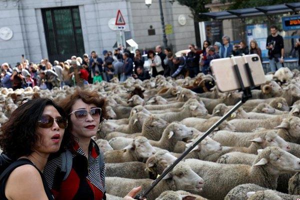 """西班牙牧羊人捍卫""""牧羊权"""" 抗议都市化"""