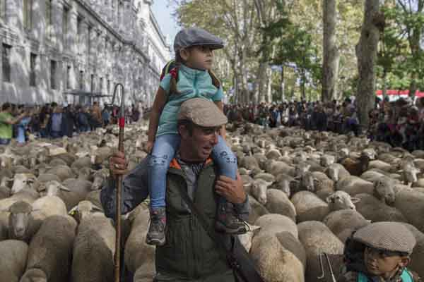 """马德里庆祝传统""""放牧节"""" 数千只绵羊逛大街浩浩荡荡"""