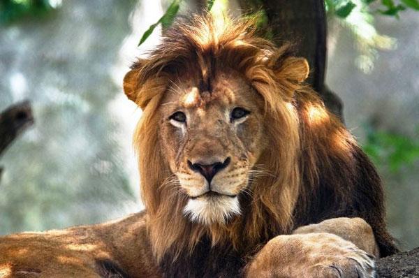 美动物园母狮杀死雄狮 共同生活8年育3名幼狮