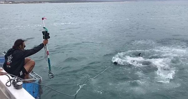惊心动魄!南非引鲨人引大白鲨靠近与其陷入拉锯战