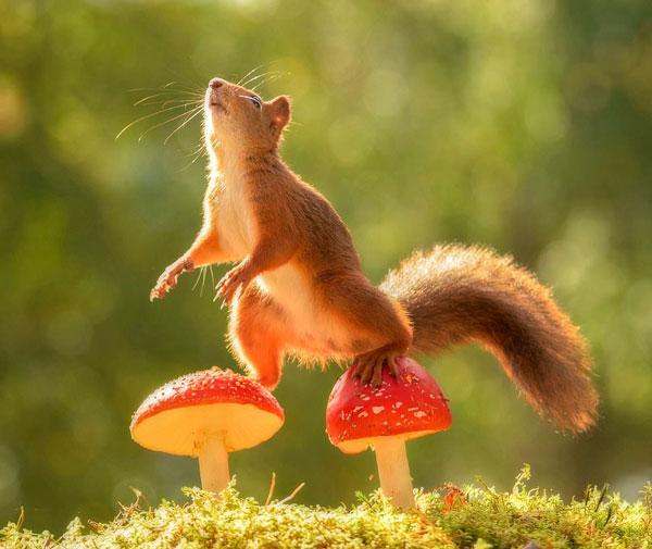 太可爱了!瑞典顽皮红松鼠伞菌丛中蹦跳保持平衡