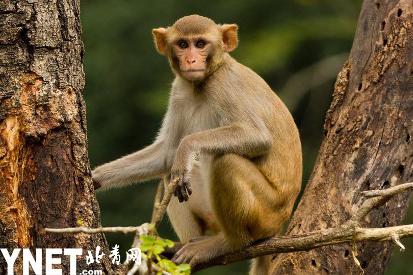 """72岁老人被一群猴子""""投石""""致死"""