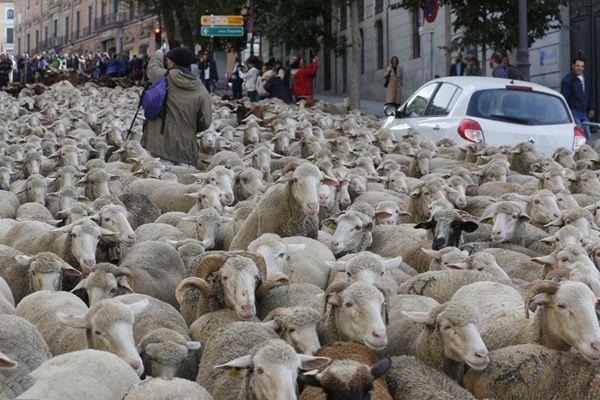 """马德里庆祝传统""""放牧节"""" 数千只绵羊闲逛街头"""