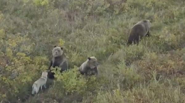 俄罗斯莱卡犬与熊成为朋友 草地嬉闹不亦乐乎