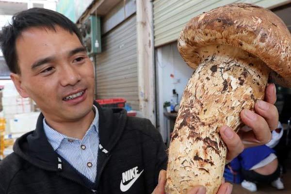 """云南昆明现""""松茸王"""" 重达到0.9公斤"""
