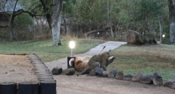 刺激!南非一保护区上演花豹闪电捕食羚羊大戏