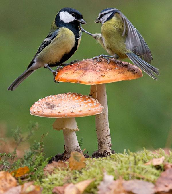 太萌了!英两只山雀站在蘑菇上为争夺食物开战