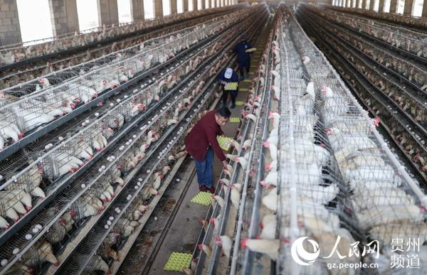"""贵州""""80后""""返乡创业大学生养鸡 带领乡亲致富"""