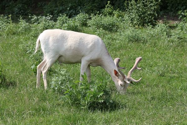 罕见白鹿现身伦敦公园:它到底是什么鬼?