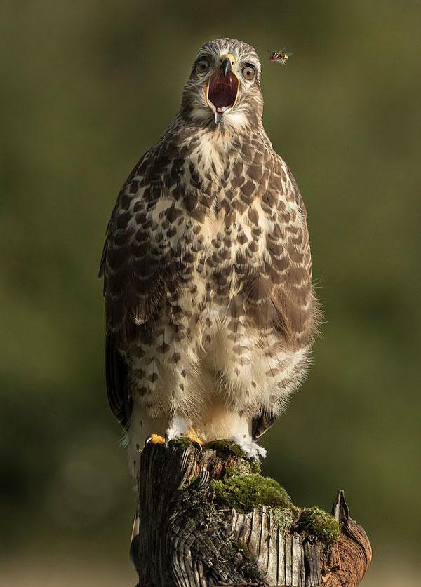恰到好处!威尔士摄影师捕捉黄蜂夺走秃鹰食物画面
