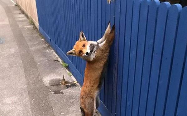 愚蠢狐狸翻栅栏不成反被困 幸获消防员及时救援