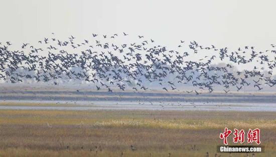 """吉林莫莫格湿地迎来""""候鸟风暴"""" 极危白鹤准备南迁"""