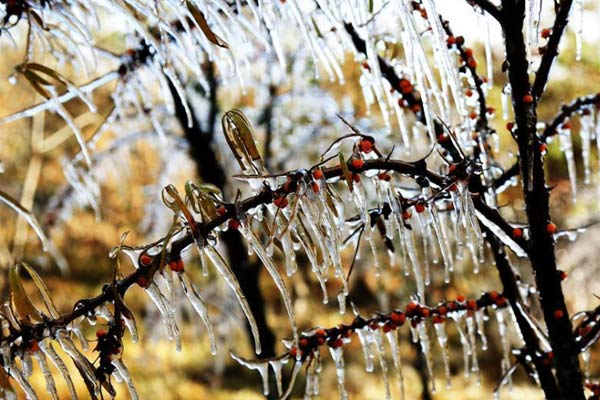 甘肃戈壁绿洲深秋现玉树琼枝冰挂景观