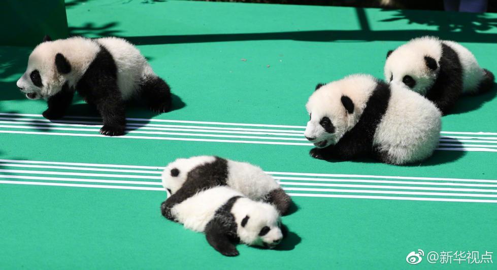 四川:禁止商业性近距离接触圈养大熊猫