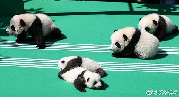 四川:严禁借商业性活动近距离接触圈养大熊猫