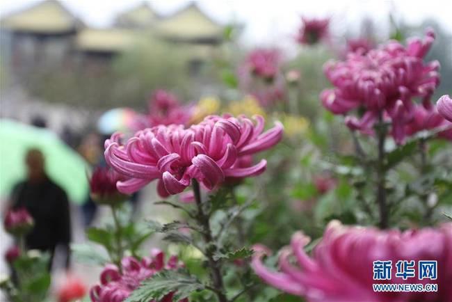 江苏扬州:瘦西湖菊花绽放迎客来(组图)