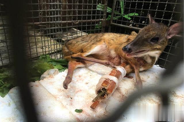 西双版纳警民联手救助罕见国家一级保护动物鼷鹿
