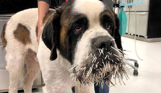 不长记性!美宠物狗第二次被豪猪攻击脸上扎满长刺
