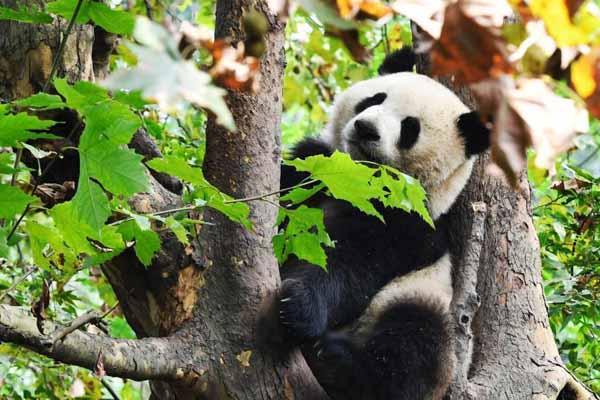 成都大熊猫秋日卖萌 憨态可掬