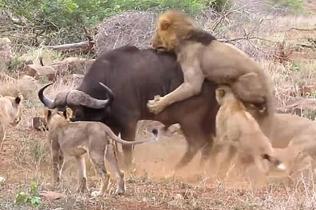 南非一水牛招架不住七头狮子围攻片刻后殒命