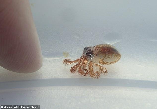 只有豌豆大!科学家在海洋垃圾内发现章鱼宝宝