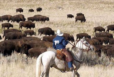 美犹他州牛仔骑马赶700头野牛参加集会 声势浩大